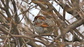 De bruine zitting van de vogelmus op de tak van de aardboom stock footage