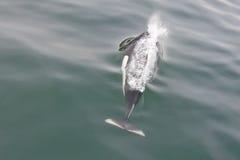 De Bruinvis van Dall in oceaan Stock Afbeelding