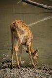 De bruna hjortarna Arkivfoton