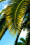 De brunch van de palm met hemel Royalty-vrije Stock Afbeelding