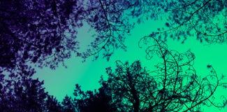 De brunchessilhouetten van pijnboombomen op de kleurrijke hemelachtergrond Stock Foto's