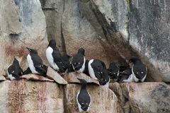 De Brunnich's-Zeekoeten op de Klippen van Alkefjellet Royalty-vrije Stock Fotografie