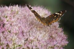 De Buckeye-vlinder royalty-vrije stock foto's