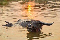 De buffel die in het water met het zwemmen is zoon stock afbeelding