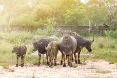 De Buffels Stock Foto's
