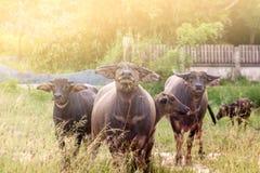 De Buffels Stock Afbeeldingen