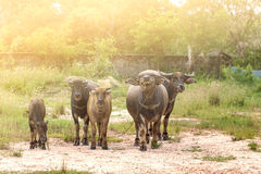 De Buffels Royalty-vrije Stock Foto's