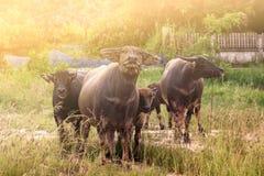 De Buffels Royalty-vrije Stock Foto