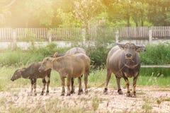 De Buffels Royalty-vrije Stock Afbeeldingen