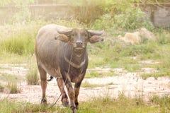 De Buffels Royalty-vrije Stock Fotografie