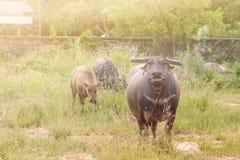 De Buffels Royalty-vrije Stock Afbeelding