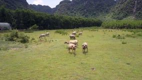 De buffels bekijken flycam dichtbij de hogere mening van landbouwbedrijfgebouwen stock videobeelden