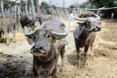 De buffels in de markt Stock Afbeeldingen