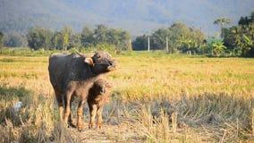 De Buffels en de Moeder van babyazië in Plattelandslandbouwbedrijf stock video