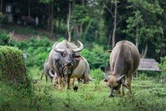 De buffels eten gras bij de gebieden in Chiang Mai Royalty-vrije Stock Afbeelding