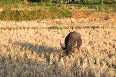 De buffels eten rijststoppelveld Stock Foto