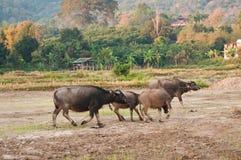 De buffels gaan naar gebied Stock Foto's