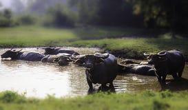 De buffels in het land van Thailand stock fotografie