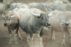 De buffels in schuilplaats Azië dreven royalty-vrije stock afbeelding