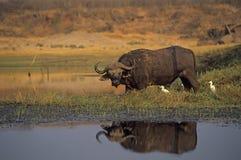 De buffels van de kaap Royalty-vrije Stock Afbeelding