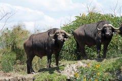 De buffels van de kaap Stock Foto's