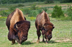De buffels van de stier en van de koe Stock Foto
