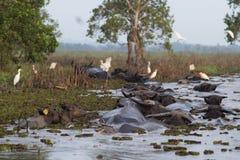 De buffels van het moerasland in Thailand Royalty-vrije Stock Afbeeldingen