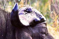 De buffels van de kaap Royalty-vrije Stock Fotografie