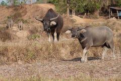 De buffels van Thailand Royalty-vrije Stock Afbeeldingen