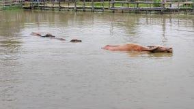 De buffels zwemmen in het meer royalty-vrije stock foto's