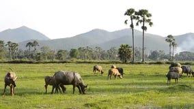 De buffelsgroep van Azië op plattelandsgebied van Thailand stock video