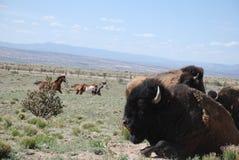 De buffelsstier rust met Koeien terwijl de Paarden op Achtergrond lopen Royalty-vrije Stock Foto