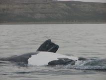 De buik van de walvis Stock Foto's
