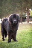 De buitengewoon brede zwarte hond die van Newfoundland zich in openlucht op gras bevinden Stock Foto's