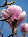 De Buitenkant van de magnolia Stock Afbeeldingen
