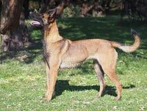 De buitenkant van de jonge Belgische herdershond stock foto