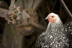 De buitensporige zwarte & witte kip met oud landbouwbedrijf equipmen Stock Foto