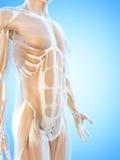 De buk- musklerna Royaltyfria Bilder