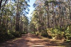 De Bush de piste forêt indigène d'eucalyptus cependant Image libre de droits