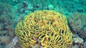 De Cabbige de corail ressembler vraiment à un cabbige énorme banque de vidéos