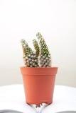 De cactus Royalty-vrije Stock Fotografie