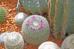 De cactus Royalty-vrije Stock Afbeeldingen