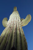 De Cactus Arizona van Saguaro Stock Afbeeldingen