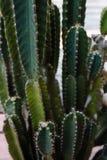 De cactus fond en grande partie Photographie stock libre de droits