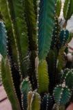 De cactus fond en grande partie Photographie stock