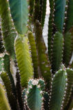 De cactus fond en grande partie Photo libre de droits