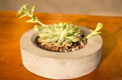 De cactus groeit in een kleine container Stock Foto's