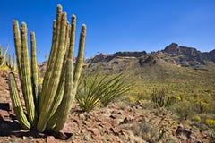 De Cactus NP van de orgaanpijp Royalty-vrije Stock Foto's