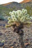 De Cactus van Arizona Cholla Stock Afbeeldingen