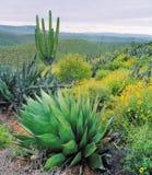 De Cactus van Baja Stock Fotografie